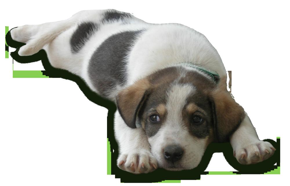 Sao Tome dog