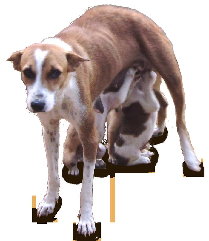 Sri Lankan Dog700